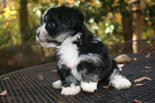 Black and white Havanese puppy playing outside