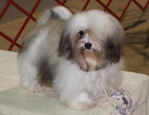 sable and white akc champion havanese dog