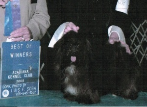 black champion akc havanese dog