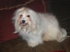 white cream colored havanese dog