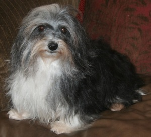 black and white havanese dog with nice show coat