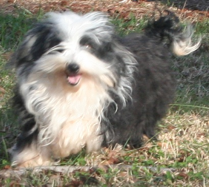 Black and white havanese dog smiling in charlotte