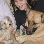 Havanese dog and German Shepherd together