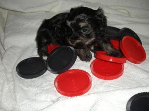 Havanese puppies playing checkers