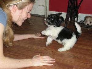 Black and white havanese puppy dog playing with a girl in charlotte