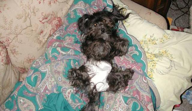 Black havanese dog in a diaper