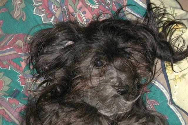 black havanese dog with messy hair