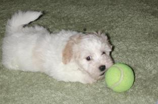 Havanese puppies playing with a ball