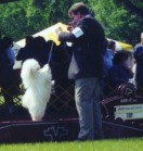 White havanese jumping at a dog show