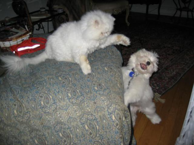 White Havanese puppy dog playing with a cat