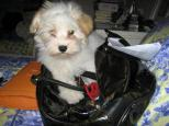 White Havanese puppy dog hiding and playing in a pocketbook purse
