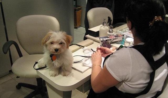 White Havanese puppy dog in a work office setting