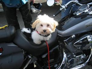 White Havanese puppy dog riding a motercycle