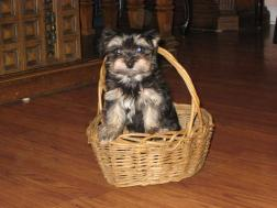 Tan point havanese puppy dog sitting in a basket