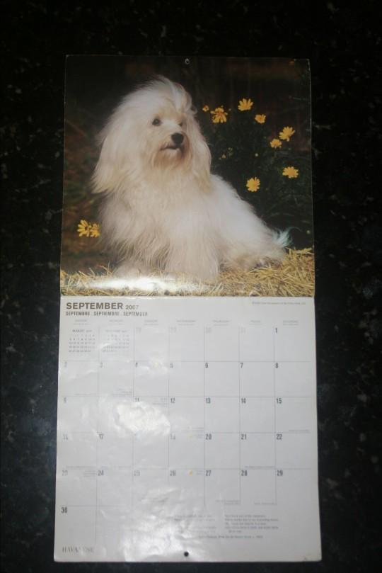 KASE Havanese dog in a popular calendar