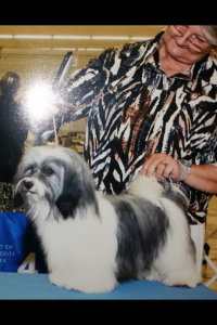 silver and white akc havanese champion dog
