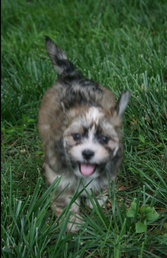 Sable havanese puppies playing outside