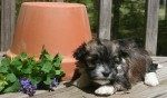 sable and white havanese puppy resting by a flower pot