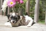 sable and white havanese puppies playing with flowers