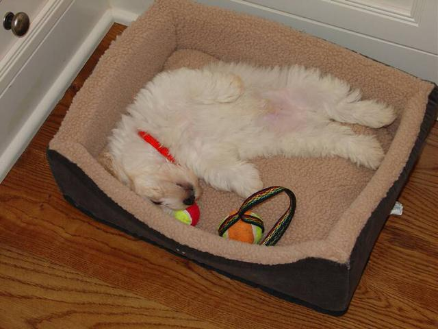 White KASE havanese puppy sleeping in dog bed