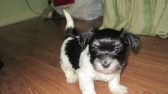 black and white havanese puppy photo shoot
