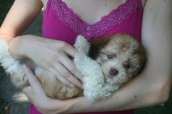 Havanese puppy dog being held on its back