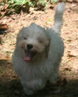 white havanese puppy dog with a big smile