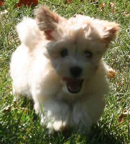 white havanese puppy running and playing outside