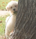 Havanese puppy playing behind a tree