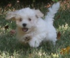 white havanese puppy by top dog breeders in north caroina