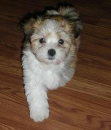 Prancing sable and white havanese puppy