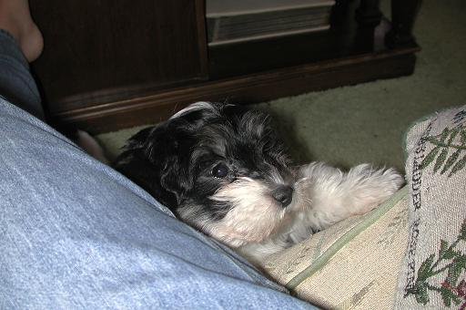 Black and white havanese puppy playing peek a boo