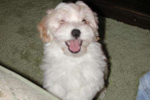 white cream havanese puppy smiliing and laughing