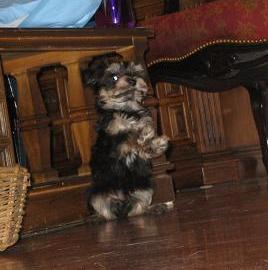 Tan point havanese puppy dog standing on hind legs
