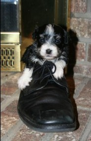 Havanese puppy playing in an old shoe