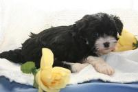 How to take good havanese puppy dog pictures