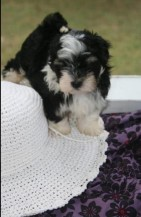 Havanese puppies playing with a hat
