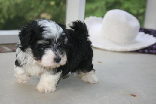 Black and white havanese puppy dog prancing around