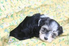 Havanese puppies playing in a blanket