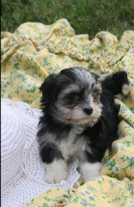 tri color havanese puppies for sale by local breeders in charlotte north carolina