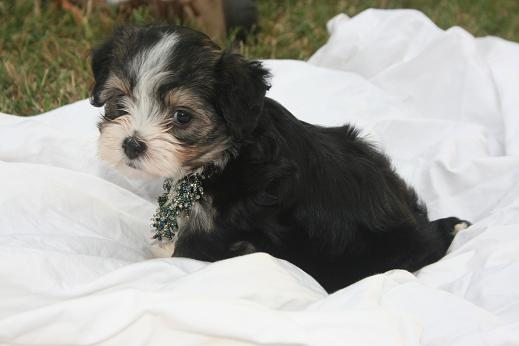 Tri color havanese click here for more pictures KASE Havanese