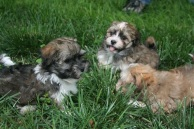 Sable and white havanese puppies playing in grass for sale in charlotte
