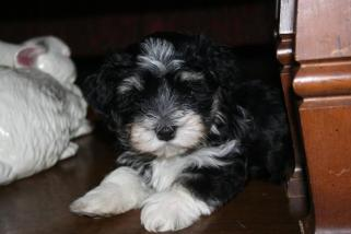 black and white havanese puppy dog posing for a picture