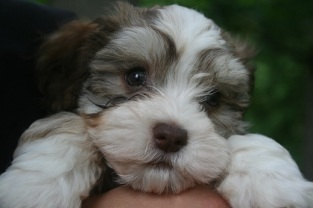 Chocolate havanese puppies for sale by dog breeder in charlotte north carolina