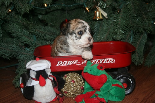Havanese christmas puppies for sale by dog breeder in charlotte north carolina