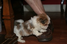 Havanese puppy dog taking off a shoe