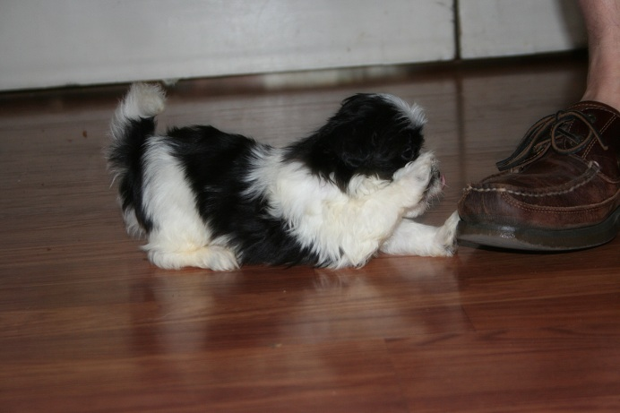 black and white havanese dog playing with shoe