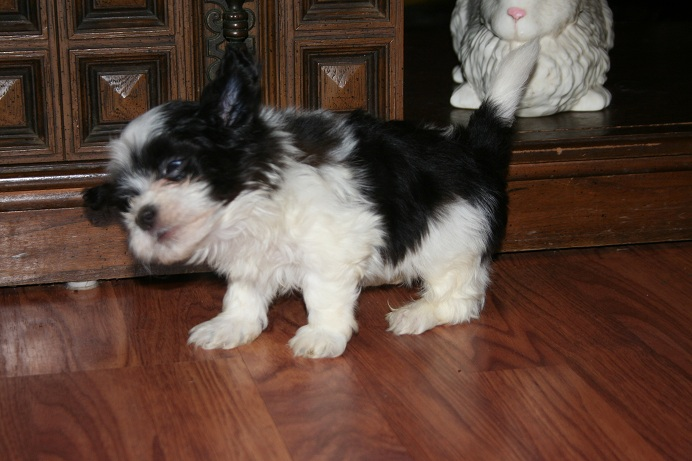 black and white havanese puppy shaking its ears