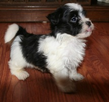 black and white havanese puppy for sale