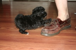 havanese puppies playing with shoe